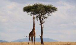 giraffe-300x200